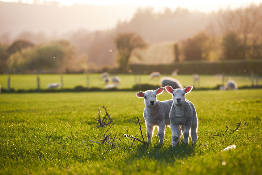 Welsh lambs, sunshine, in the Brecon Beacons National Park
