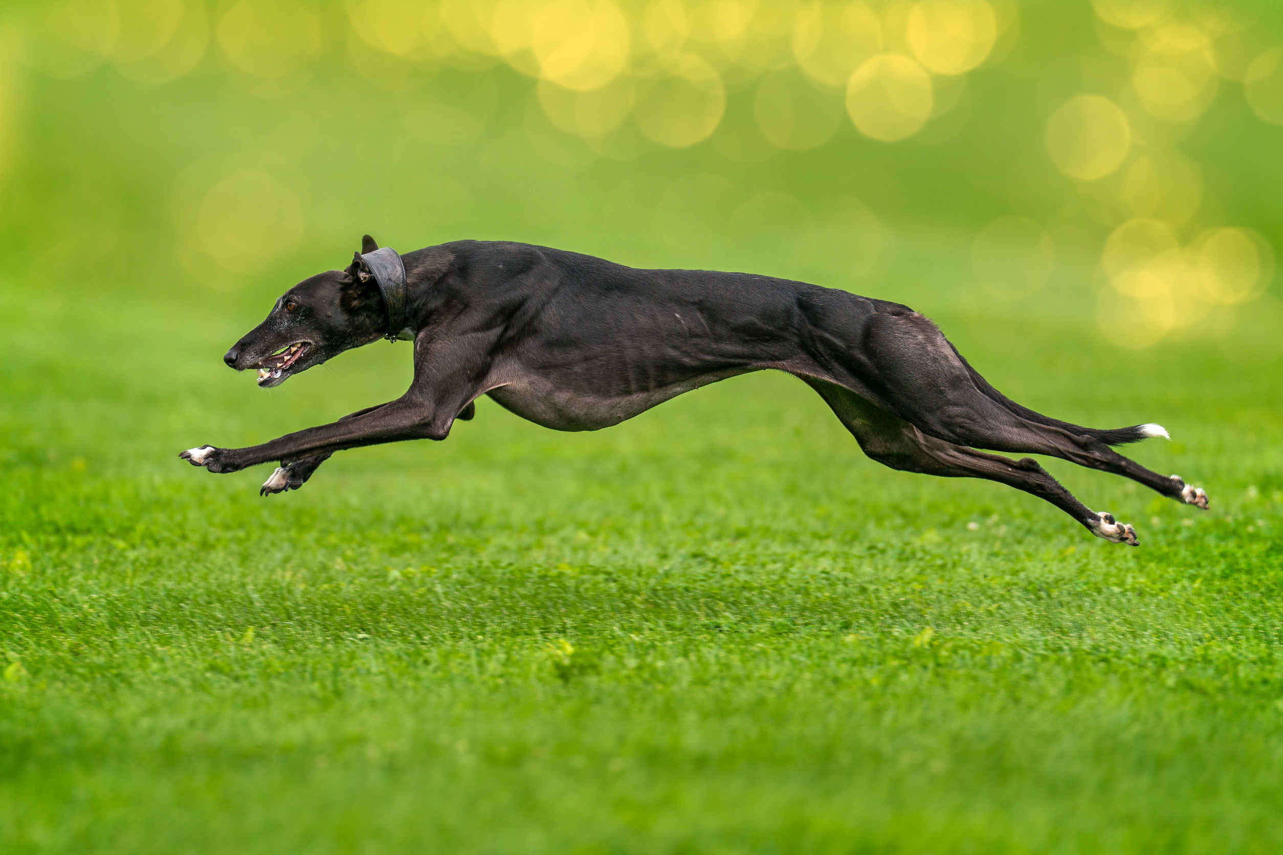 A greyhound completely lifted off the ground during the race