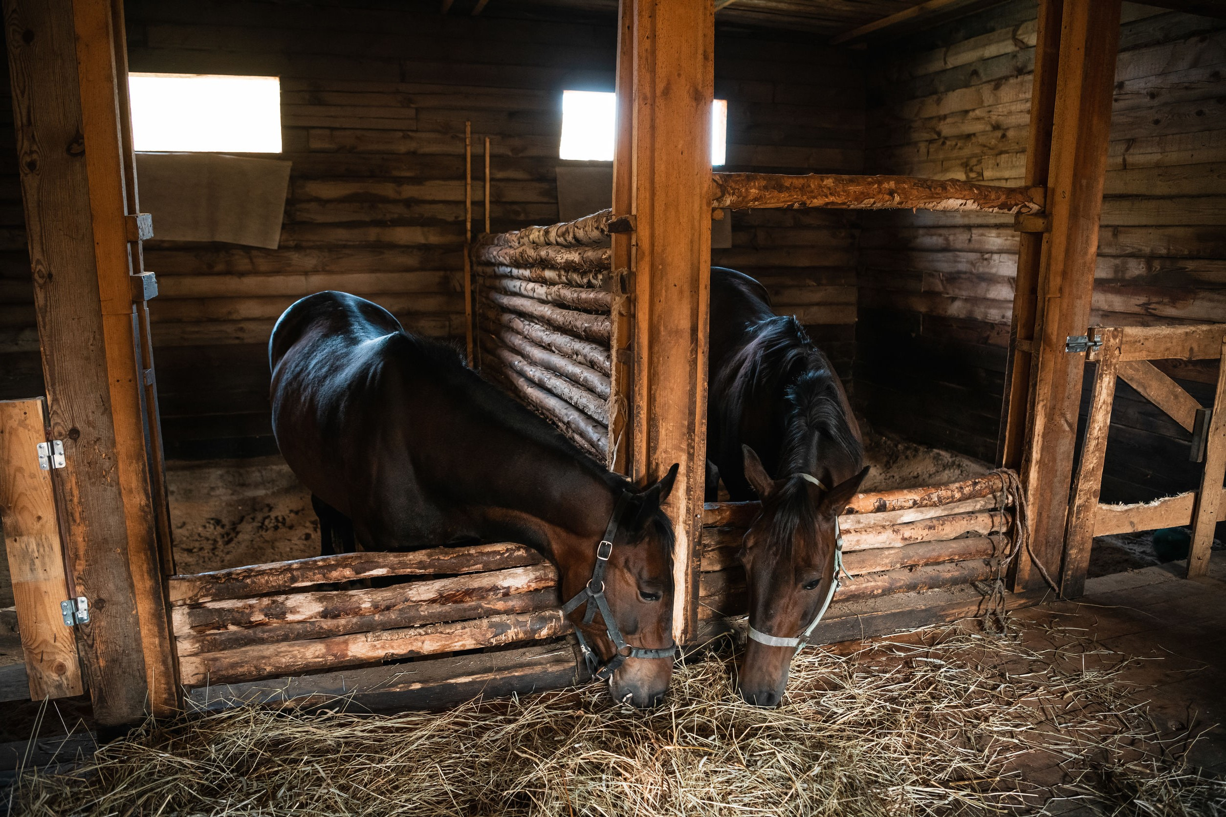 In a wooden stable, horses pull their heads towards fresh hay lying on the floor